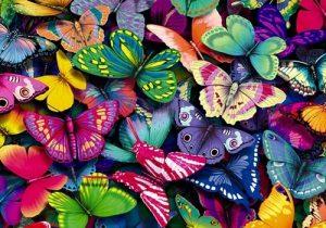 butterflies-yorkshire_rose-15990936-500-375