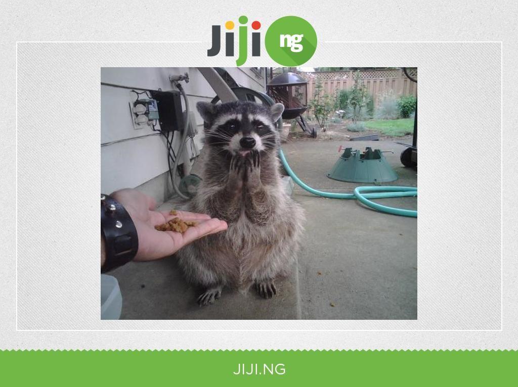 Give feed the raccoon