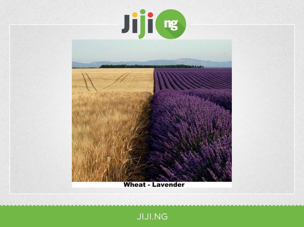 Wheat - Lavender