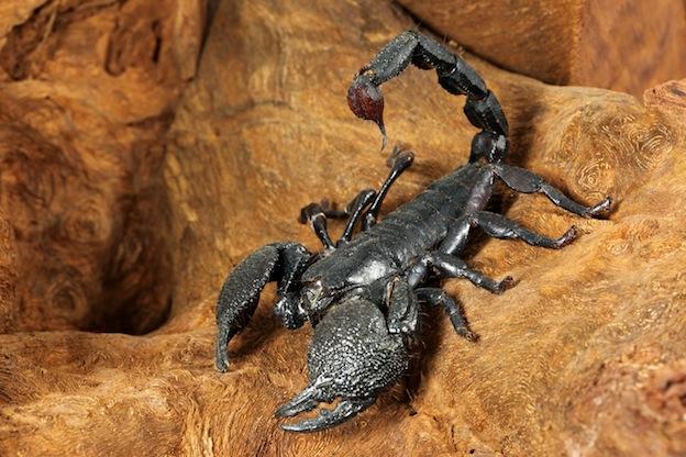 Skorpion Pandinus imperator