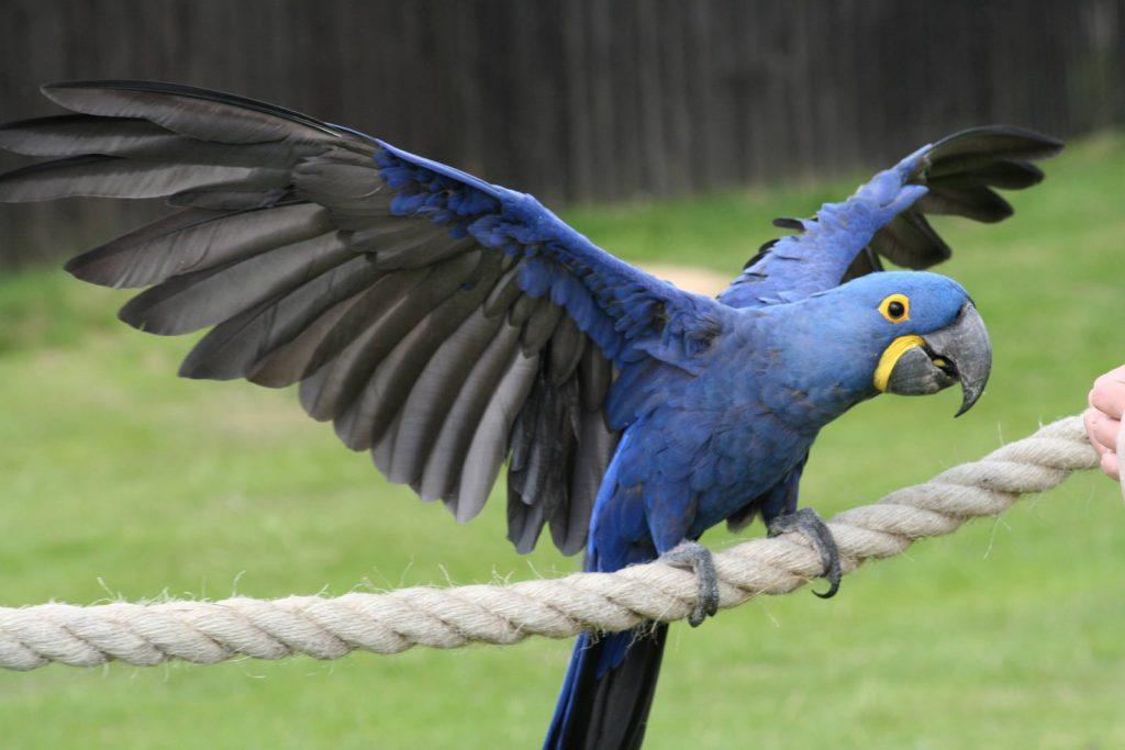 The_Hyacinth_Macaw