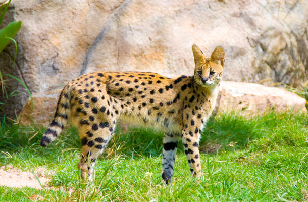 african-serval