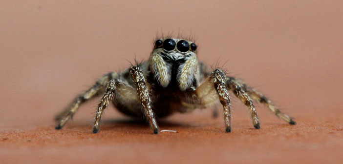 Zebra-spider-by-Sergei-Golyshev-Creative-Commons