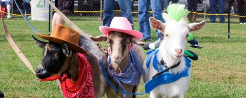 goat races trinidad 1