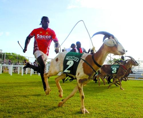 goat races trinidad 2