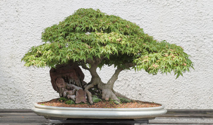 Japanese-Bonsai-Trees
