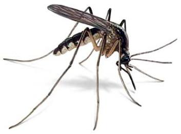 mosquito-1551