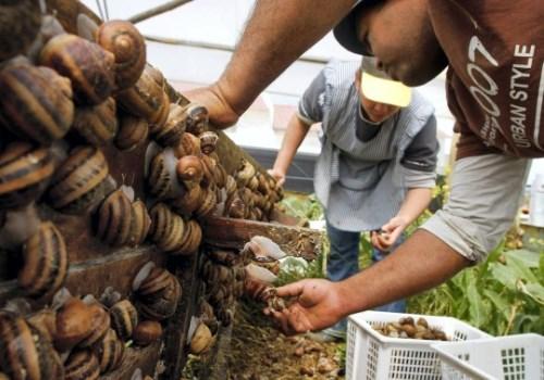 snail-farming1