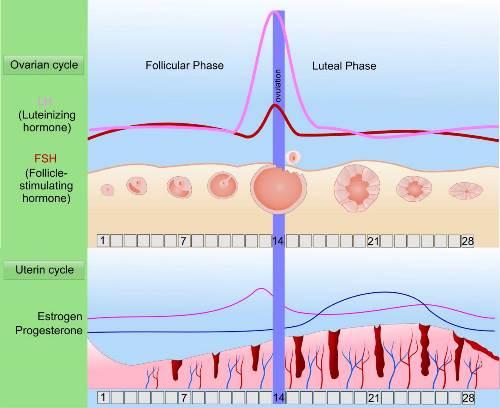 Regulate-You-Menstrual-Cycle