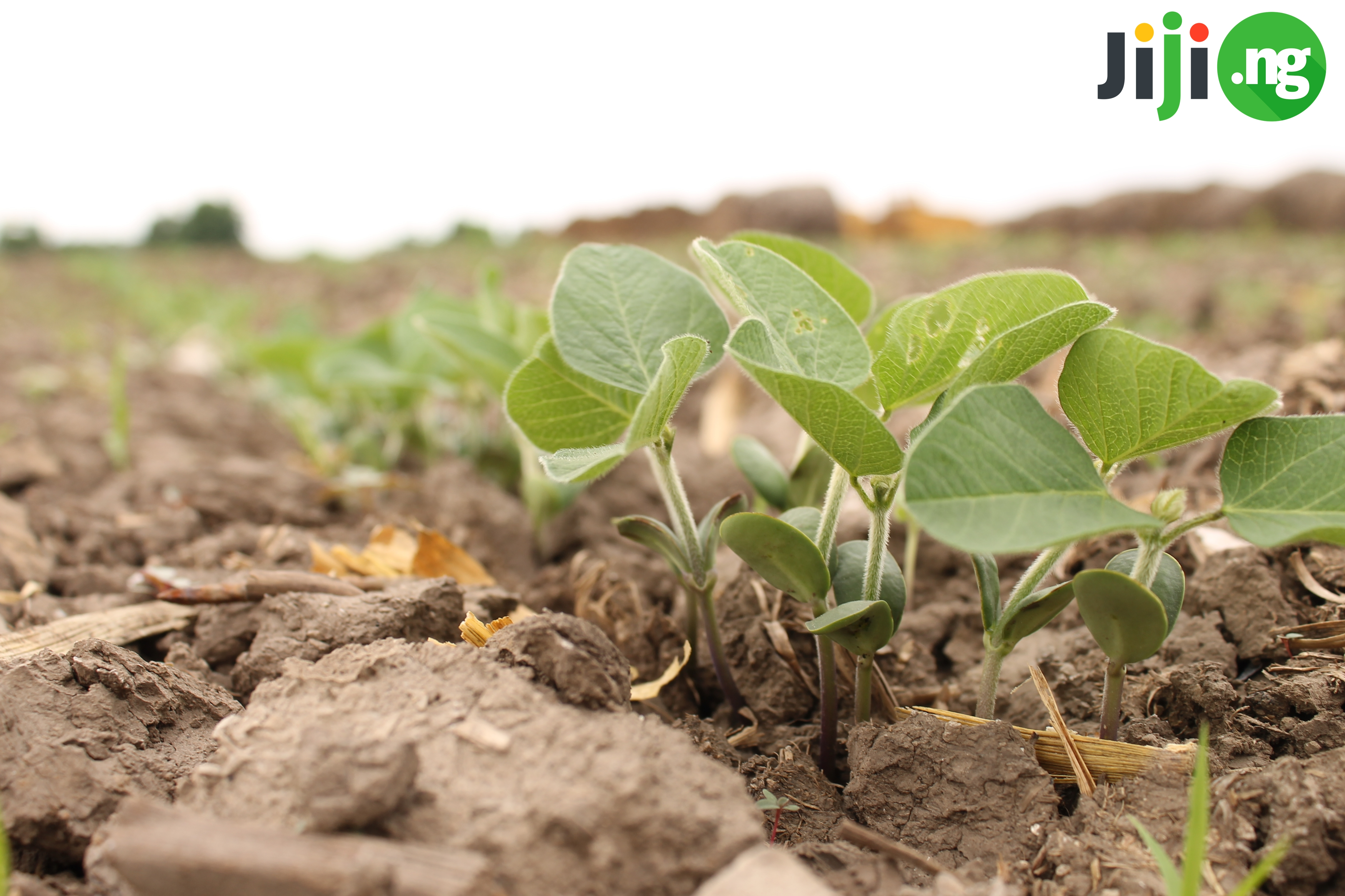 soya beans farming
