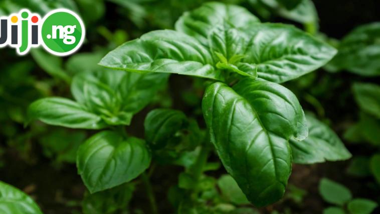 scent leaf benefits