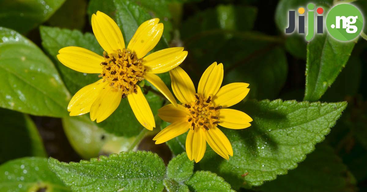Weeds And Their Botanical Names In Nigeria Jiji Blog