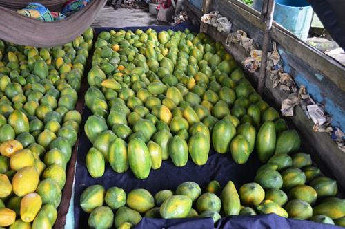 papaya plantation information