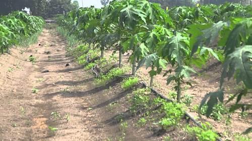 how to grow papaya