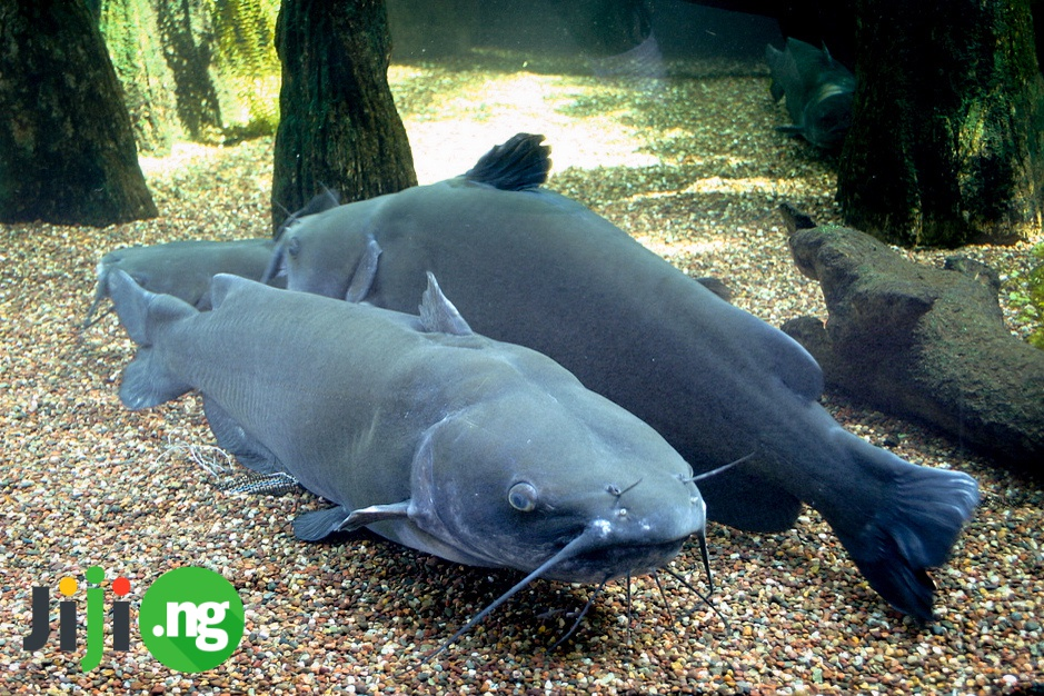 how to hatch catfish