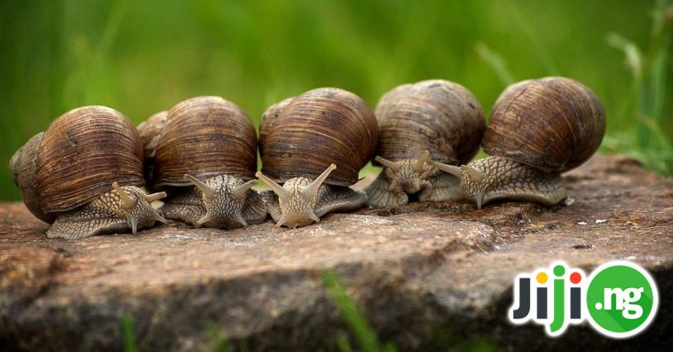 how to hatch snail eggs