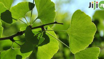 Health benefits of ginkgo biloba