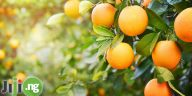 How lucrative is orange farming in Nigeria?