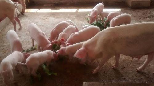 piggery farming in nigeria