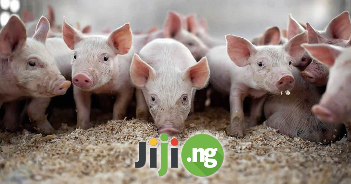 how lucrative is pig farming in nigeria