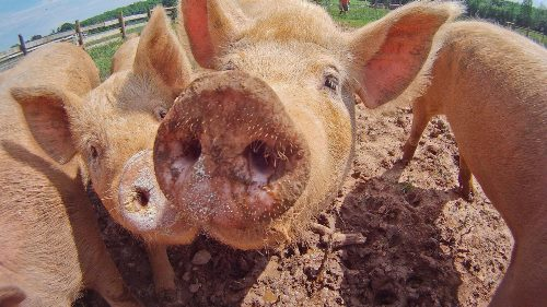 starting a pig farm in nigeria
