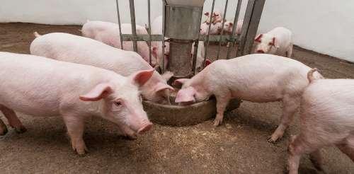 starting a pig farm in nigeria