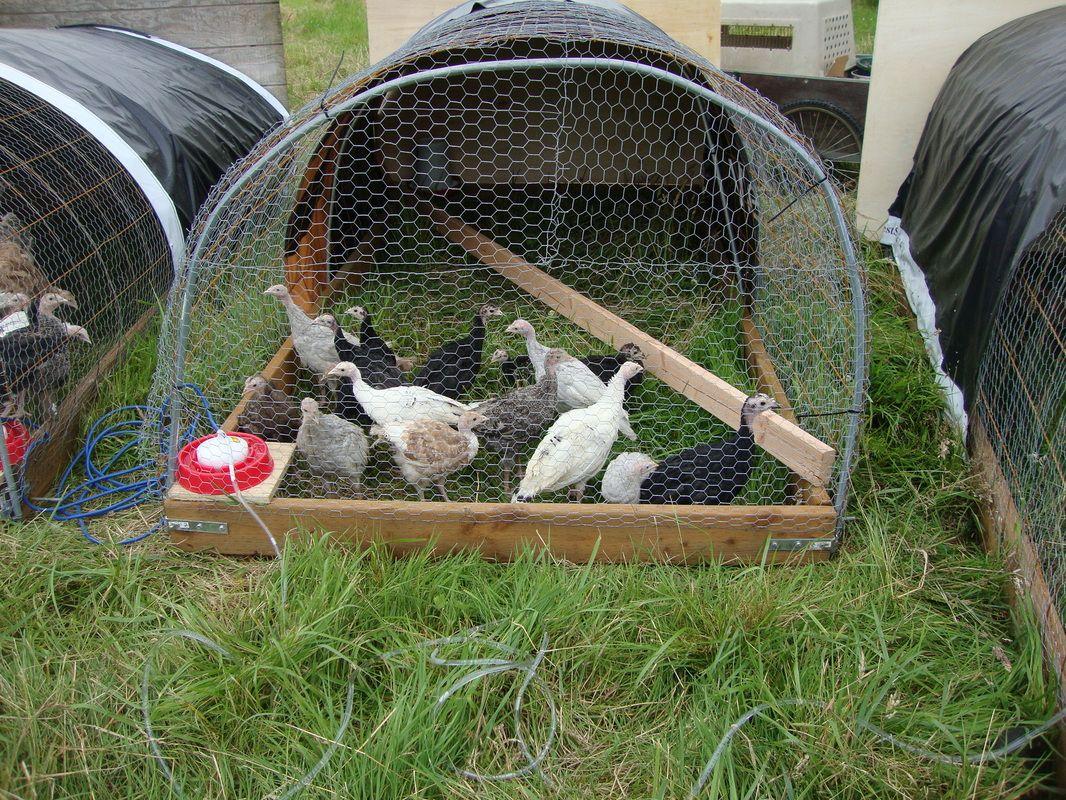 Turkey farming in Nigeria
